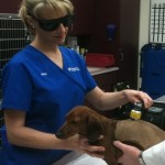 Veterinary technician Amy Reynolds performs a laser procedure on a patient.