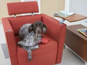 Bonnie, a German short-haired pointer