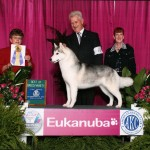 GCH Mileka's Belle Starr after her AKC/Eukanuba dog show win.