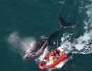 rightwhale_entangled_ecohealthalliance_permit932-1905 - Copy